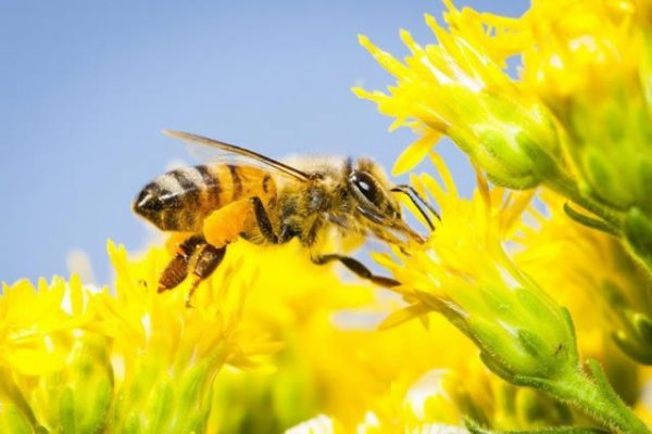 bijenpollen en hooikoorts